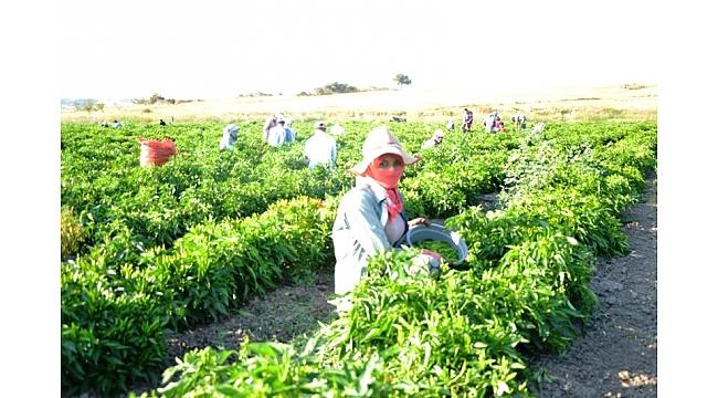Biga'da biber hasadı başladı