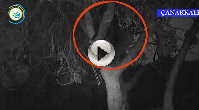 Kazdağlarında incir ağacına çıkan ayı görüntülendi