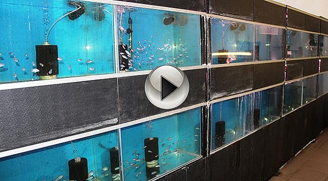 Müziğin balıklar üzerindeki etkisini araştırıyorlar