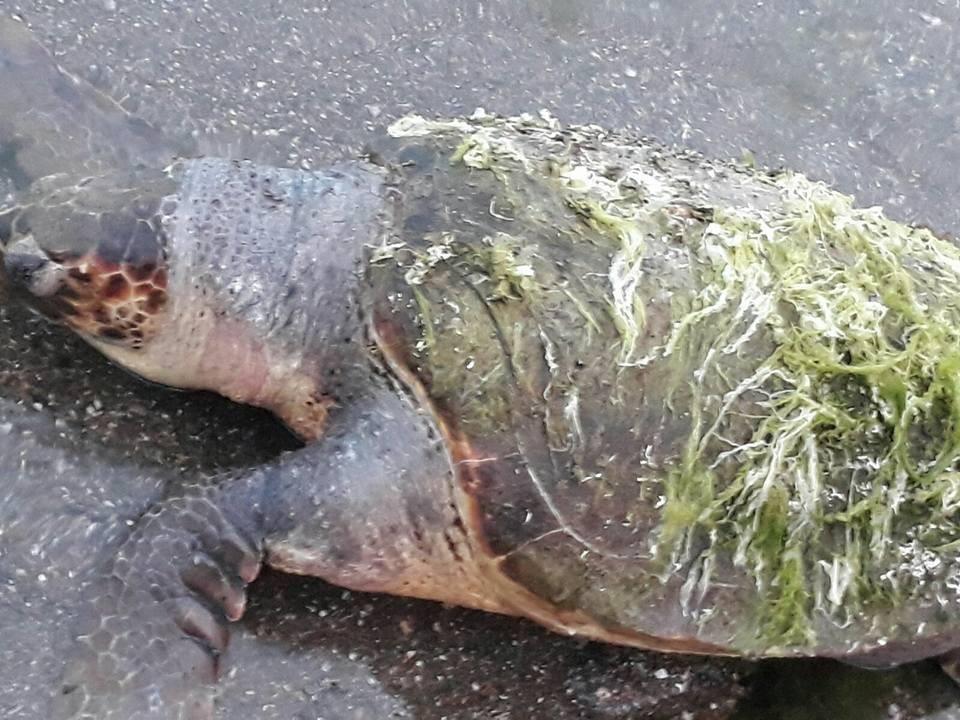 Çanakkale'de ölü caretta caretta kıyıya vurdu