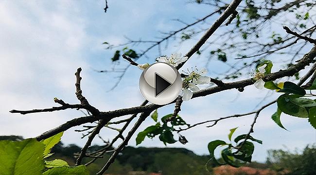 Çanakkale'de erik ağacı çiçek açtı