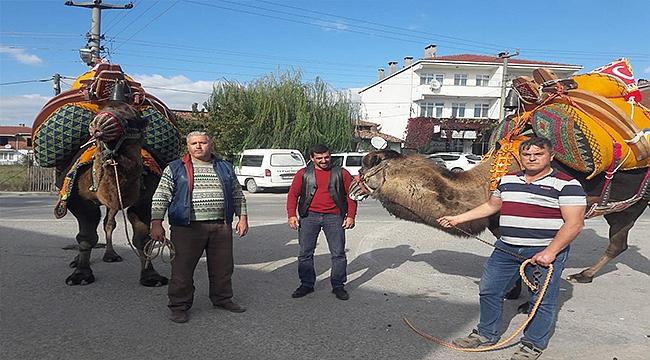 Çan'da güreş develerine havutları kondu